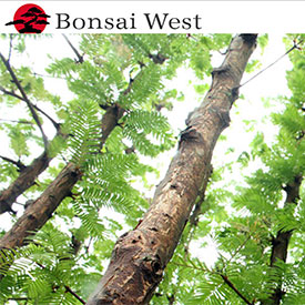 Bonsai West: A full-service bonsai nursery, retail center and gallery